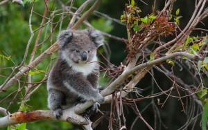 Lizzy koala