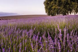 Lavendar field in Tasmania