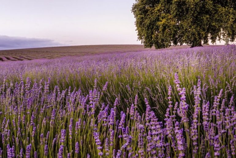 Lavendar field in Tasmania