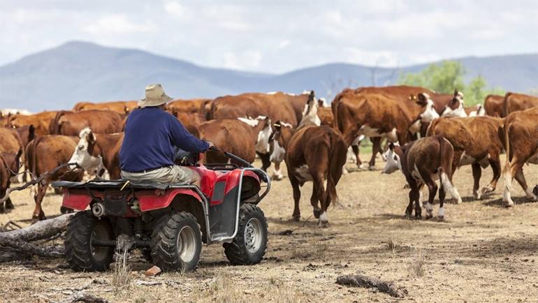 Farmer on quad bike herding cattle.