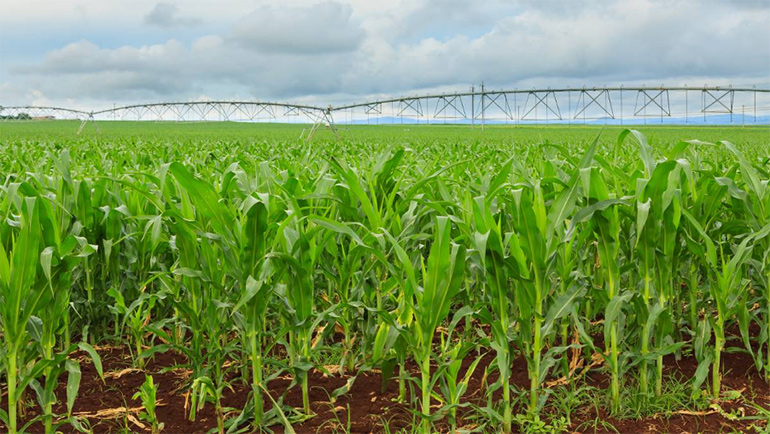 Field of green corn with irrigation scaffold.